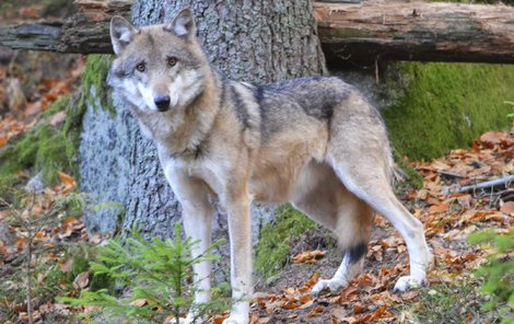 Vlků je v Česku několik desítek.