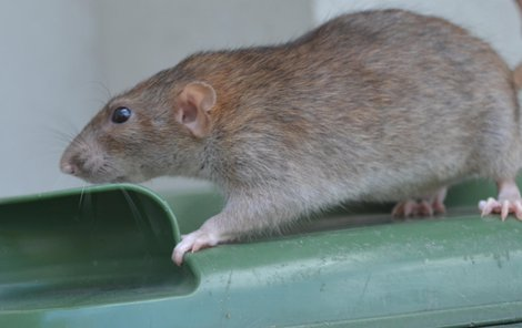 Potkani stojí Břeclav stovky tisíc.