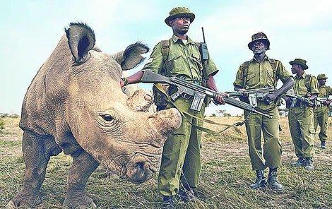 Súdán měl až do smrti vojenský dohled. Před pytláky chrání zvěř v Africe ozbrojenci. Někdy také nosorožcům ochránci rohy upilují, aby předešlí zabití kvůli rohovině.