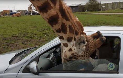 Idioti v safari parku mlsné žirafě  přivřeli hlavu!