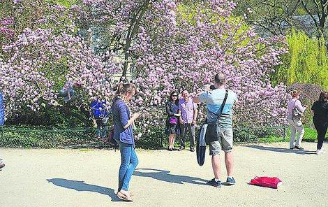 Rozkvetlá magnolie v Dvořákových sadech.