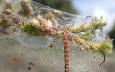 Zatím jsou housenky štíhlé a dlouhé 2 cm.