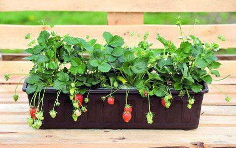 Jahody v truhlíku