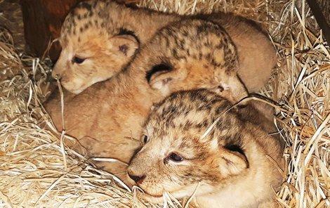 Dva lví kluci a jedna holčička jsou novými přírůstky plzeňské zoo.