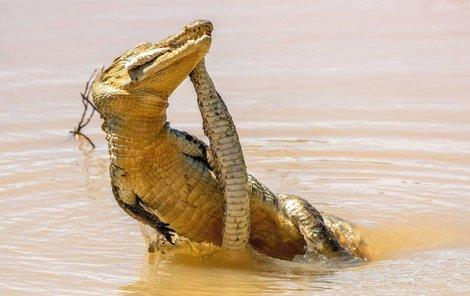 Zmije krokodýlovi podlehla.