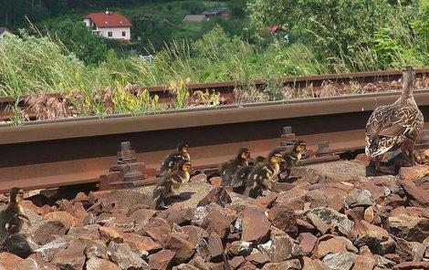 Kachna s osmi mláďaty úspěšně překonala železniční trať.