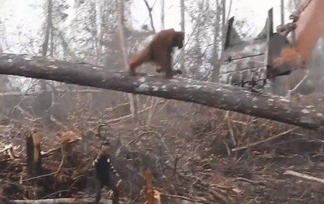 Orangutan přibíhá po padlém kmeni...