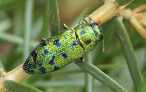 To je on. Krásný krasec Lamprodila festiva, který má kovově lesklé a do zelena zabarvené tělo. Podle některých entomologů je to náš nejkrásnější škůdce.