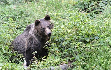 Medvěd (ilustrační)