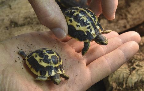 To jsou ony, jedny z nejkrásnějších želviček světa. Ty proužky jim sluší.