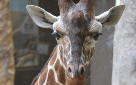 Žirafí samec Manu (8).