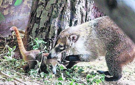 Nafotit mláďáta, která si matka přísně střeží, není jednoduché. Tohle je první foto vzácného přírůstku.