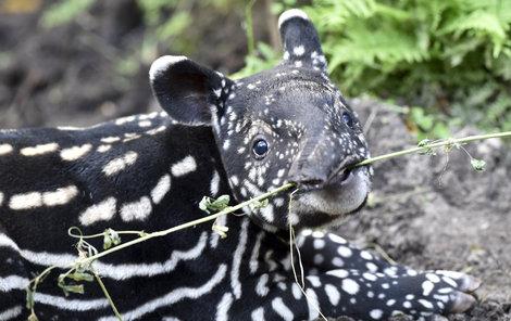 Malý tapír objevuje chuť větvičky.
