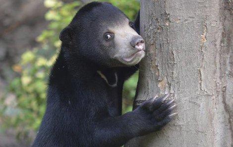 Medvídě se má čile k světu, je chloubou zoo.