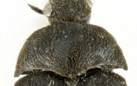 Nový druh brouka