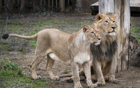 Lvice Ginni (vlevo) s dárcem spermatu Jamvanem.
