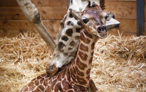 Kuk! Já jsem nový žirafák