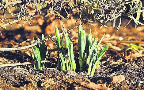 Jaro dorazilo i na Vysočinu. V Jihlavě vykukují sněženky.