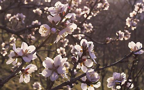 Pražský Petřín zrůžověl, mandloně jsou v plném květu.