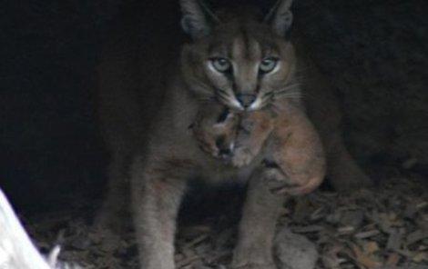 Samice karakala při přenášení jednoho z koťat.