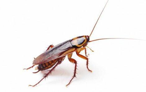 Švábovitý hmyz přenáší průjmová onemocnění.