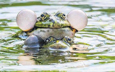 Udržet se slizké samičce na zádech není snadné.