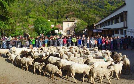 Do školy farmář nahnal kolem padesáti ovcí a patnáct z nich hned nechal i jejich rodnými listy zapsat na seznam žáků.