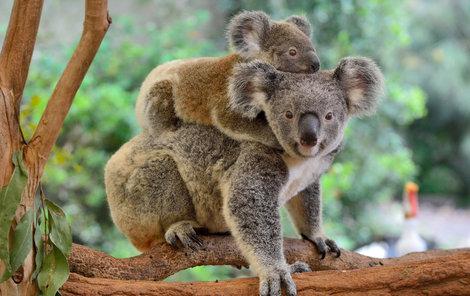 Koala sice připomíná medvěda, ale je to vačnatec.