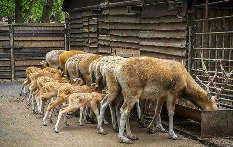 Ošetřovatelce jelenů se podařila opravdu mimořádná fotka.