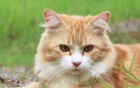Kočka - toxoplasmóza