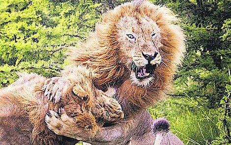 Majestátní souboj králů zvířat.