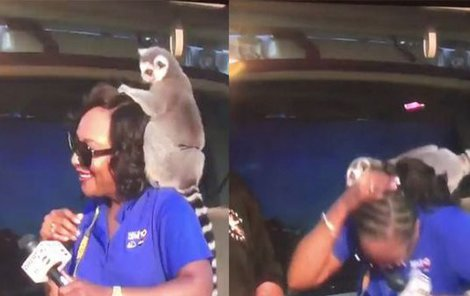 Yolanda představovala divákům zookoutek. Lemur našel v moderátorce zalíbení...hlavně v její hřívě.