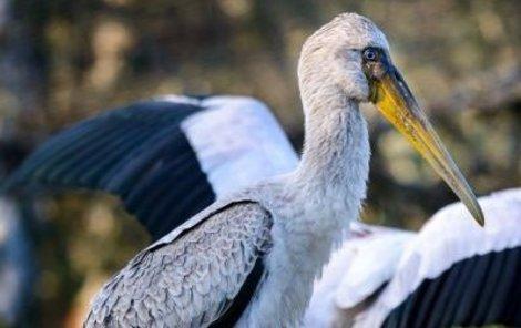 Nesytové mají dlouhé nohy a zobáky, aby se mohli brodit a lovit potravu v mělkých vodách.
