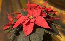 Vánoční hvězda: Jak ji pěstovat? Jak správně vybrat? Jak vydrží déle než rok?