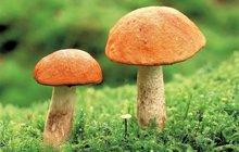 Kozáci, křemenáči, klouzci a spol. kopírují cestu deště: Kudy šel mrak, tam rostou houby!