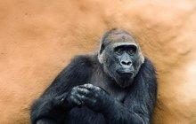 Gorilí »babička« Kamba šokuje: Opět čeká mládě!