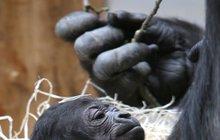 Nová gorilka v pražské zoo: Kluk, nebo holka? VELKÁ GALERIE