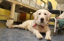 Nemocnice Na Bulovce má čtyřnohého »doktora« Fanynka léčí láskou, srstí a svým teplem!