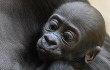 Goriláček Nuru z pražské zoo bude hrát v novém večerníčku!