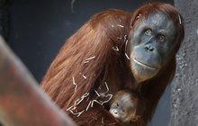 PRVNÍ FOTO! Tohle je orangutaní prcek z pražské zoo!