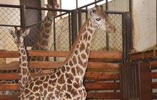 Žirafák má na sobě symbol Batmana. Hlavně ať nelétá!