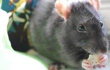 Důchodce okousali potkani