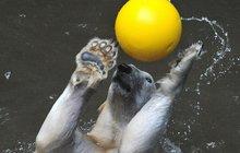 Máma Cora trénuje medvíďata v brněnské zoo: Kometa plave, Nanuk se bojí!