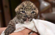 Levhartí mláďata z královéhradecké zoo: Přežila díky sunaru