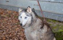 Bezcitný majitel uvázal huskyho u svodidel: Předtím mu odřízl ucho!