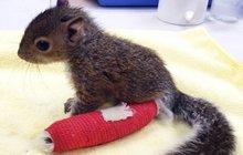 Polámané veverčí mládě: Dostalo sádřičku!