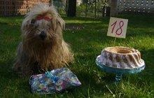 Nejstarší jorkšírka Lussi oslavila plnoletost: Postarší dáma, které je 18!