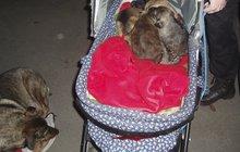 Vánoční krutost: V opuštěném kočárku se choulilo šest štěňat, které hlídala statečná fenka!