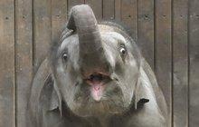 Nepila od mámy mléko, dávali jí jen týdny života: Sloní holka slaví rok!