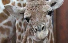 Tragédie vbrněnské zoo: Tříměsíční žirafátko se zabilo pádem ve výběhu!
